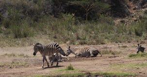Zebra do ` s de Grant, boehmi do burchelli do equus, adultos que têm o banho da poeira, parque de Nairobi em Kenya, video estoque