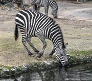 Zebra do ` s de Grant na lagoa molhando Fotografia de Stock