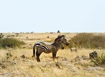 Zebra dois em Kenya foto de stock