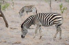 A zebra dois pasta no parque de Kruger imagens de stock royalty free