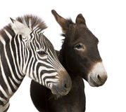 Zebra and Donkey Royalty Free Stock Photos