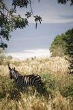 Zebra dos animais 022 Foto de Stock Royalty Free