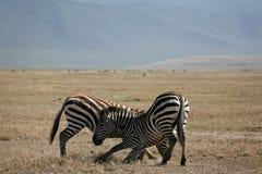 Zebra dos animais 060 Fotografia de Stock Royalty Free