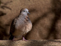Zebra dove Royalty Free Stock Photography