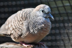 Zebra Dove. A young Zebra Dove standing on the wooden rail Royalty Free Stock Image