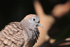 Zebra Dove Stock Photo