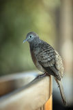 Zebra Dove. Perching on a bench Royalty Free Stock Photos