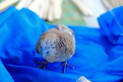 Zebra dove Stock Photography