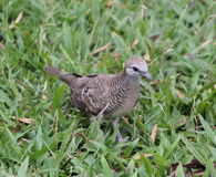 Zebra dove. Is bird  live in forest Stock Image