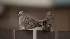 Zebra dove on the fence stock photography