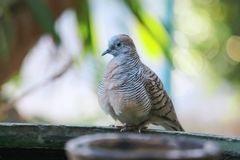 Zebra Dove and bokeh stock photo