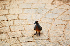 Zebra dove On the brick floor Stock Photography