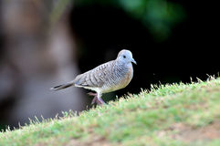 Zebra Dove Stock Image