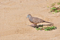 Zebra Dove Royalty Free Stock Images