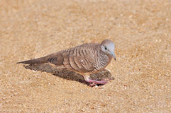 Zebra Dove Stock Images