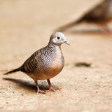 The Zebra Dove. Close-up view of a Zebra Dove Royalty Free Stock Images