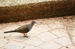 Zebra dove Royalty Free Stock Photos