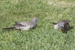 Zebra Dove couple royalty free stock photography