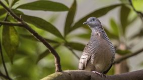 Zebra Dove on Exotic Tree Branch Stock Images