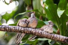 Zebra dove family Royalty Free Stock Image
