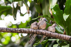 Zebra dove family Stock Photo