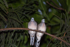 Zebra dove family Royalty Free Stock Photos