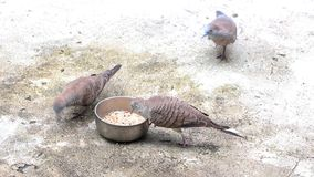 Zebra Dove feed of seeds on the cement floor. stock video footage