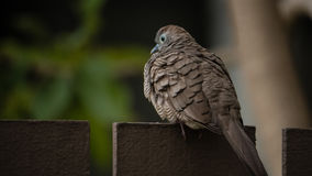 Zebra Dove on The Fence royalty free stock photo