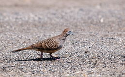 Zebra dove Royalty Free Stock Photo