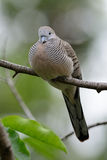 Zebra Dove (Geopelia striata) Royalty Free Stock Images