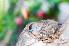 Zebra Dove (Geopelia striata) in Nest on tree Royalty Free Stock Photo