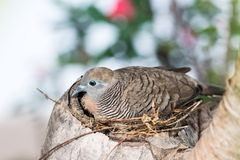 Zebra Dove (Geopelia striata) in Nest on tree Stock Photography