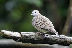 Zebra dove, Geopelia striata Royalty Free Stock Photo