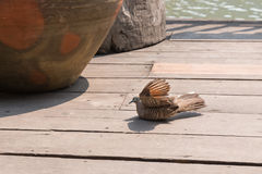 Zebra Dove (Geopelia striata) sunbathe. At floating market, Thailand Stock Photography