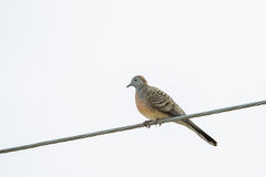 Zebra Dove, known as barred ground dovo bird perching on power l. Ines in Thailand on bright background royalty free stock photos