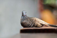 Zebra Dove looking at the camera Royalty Free Stock Photo
