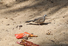 Zebra Dove in profile. Tropical bird in Oahu, Hawaii Royalty Free Stock Images