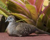 Zebra Dove Stock Image