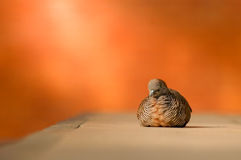 Zebra dove resting with its eyes closed Royalty Free Stock Photo
