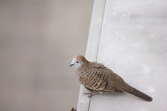 Zebra dove. Resting on top of roof of a country house  in thailand Stock Image