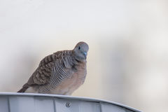 Zebra dove. Resting on top of roof of a country house  in thailand Royalty Free Stock Photography