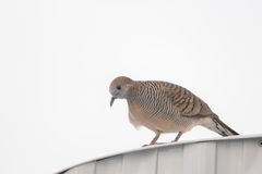 Zebra dove. Resting on top of roof of a country house  in thailand Royalty Free Stock Photos