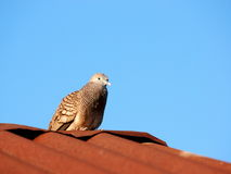 Zebra dove on the roof Stock Image