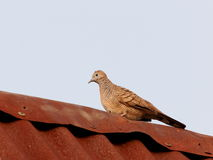 Zebra dove on the roof Stock Images