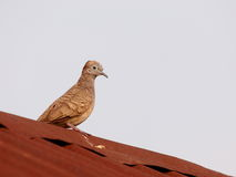 Zebra dove on the roof Stock Photo