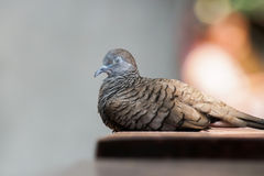 Zebra Dove sitting idly with its eyes closed Stock Photos