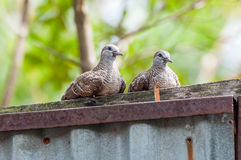 Zebra Dove sitting Royalty Free Stock Photography