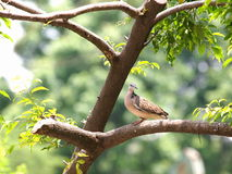 Zebra dove sitting on a tree Royalty Free Stock Images