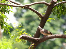 Zebra dove sitting on a tree Stock Image