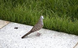 Zebra dove standing on granite Stock Image